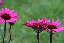 Echinacea purpurea 'Fatal Attraction (S) - 2