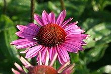 Echinacea purpurea 'Little Magnus' (S) - 2
