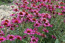 Echinacea purpurea 'Rubinstern' - 3