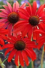 Echinacea purpurea 'Tomato Soup' (S) - 2