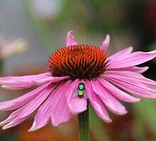 Echinacea purpurea Doppeldecker (Middleton