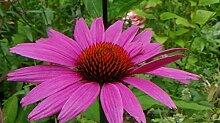 Echinacea purpurea Magnus Superior (Middleton