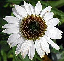 Echinacea purpurea PowWow Weiß | Weiß Sonnenhut