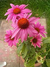 Echinacea purpurea PowWow Wild Berry | Sonnenhut |