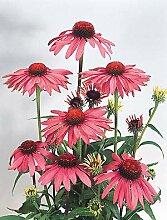 Echinacea purpurea Primadonna Tief Rose 1000 Seeds