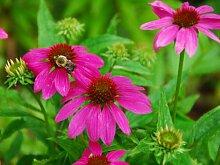 Echinacea purpurea Purple 180 Seeds - Perennial