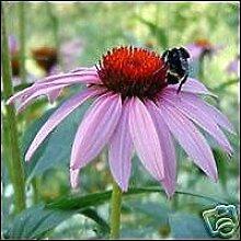 Echinacea Purpurea Samen, Bio-Immuno-Stimulans!