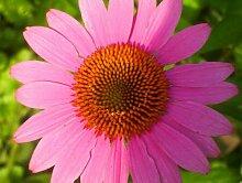 Echinacea purpurea (Sonnenhut) 200 Samen