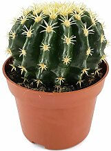 Echinocactus grusonii v. intermedius - der