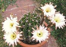 Echinopsis leucantha seltene Kaktus Pflanze Blüte