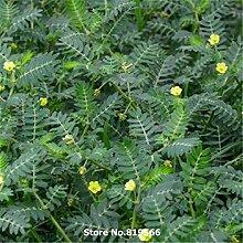Echt Chinese Tribulus Terrestris Samen Medizin Herb Pflanze Tribulus Sementes Hof Bonsai Cijili im Freien Garten-Kräuter
