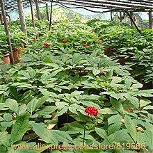 Echt chinesischen Seltene Panax Ginseng Samen Kräutermedizin Ginsenoside Sementes Bonsai Renshen Garten-Baum im Freien Kräuter Pflanzen