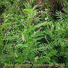 Echt chinesischen Süßholzwurzel Samen Kräuter Lakritze Bonsai Glycyrrhiza Glabra L. Herb Pflanze Sementes Natur Gan Cao Baum Seed