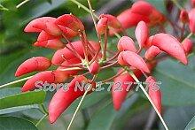 Echt Samen! 50pcs / lot Hahnenkammbaum, brasilianischen Strauch Samen schöne Blume Bonsai Pflanze DIY Hausgarten