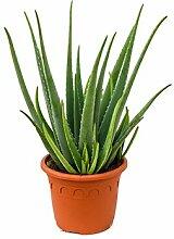 Echte Aloe, ca. 80 cm, Balkonpflanze wenig Wasser, Terrassenpflanze sonnig, Kübelpflanze Südbalkon, Aloe vera, im Topf