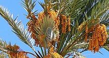 Echte Dattelpalme, Phoenix Dactylifera, Baum 5