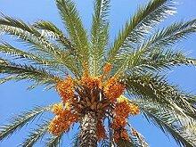 Echte Dattelpalme Phoenix dactylifera Pflanze 20cm