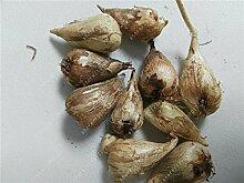 Echte Freesie Zwiebeln, Blumen Freesie, Indoor-Topf Blumen Orchideen, Freesie Rhizome Blumenzwiebeln, Blumen ruhig Hausgarten Pflanze-2bulbs
