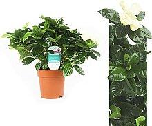 Echte Gardenia Pflanze 25-30 cm Gardenia