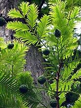 Echte Sumpfzypresse Taxodium distichum Pflanze
