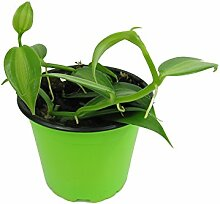 Echte Vanille Pflanze, Kletter Orchidee