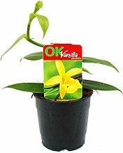 Echte Vanille Pflanze, Vanilla planifolia -