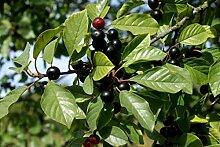 Echter Faulbaum Rhamnus frangula Pflanze 35-40cm