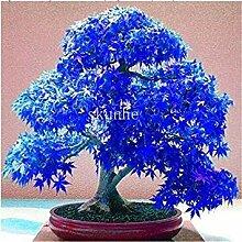 20pc Rare Beautiful Red Maple Pflanzen Samen Red Maple Bonsai-Baum Neu·