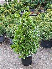 Echter Lorbeer, ca. 120 cm, Balkonpflanze