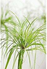 Echter Papyrus 50 cm Papyrus-Pflanze Cyperus