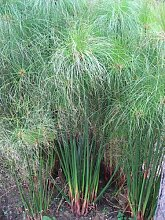 Echter Papyrus *Cyperus Papyrus* 30 frische Samen Der Blickfang an jedem Garten-Teich