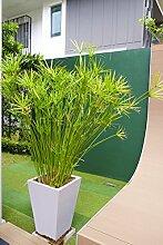 Echter Papyrus - Cyperus papyrus nana - Zimmer- oder Kübelpflanze - 70-80cm Topf Ø 23cm
