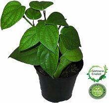 Echter-Pfeffer   Piper nigrum, Schwarzer Pfeffer, Kräuter Pflanze