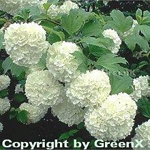 Echter Schneeball 60-80cm - Viburnum opulus Roseum