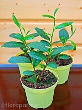 echter Tee Camelia sinensis Tee Pflanze 3stk.