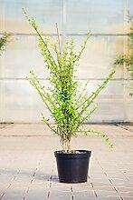 Echter Winter-Jasmin, 60-80 cm, Zierstrauch winterhart, Busch für Sonne-Halbschatten, Gartenpflanzen gelb blühend, Jasminum nudiflorum, im Topf