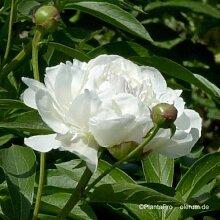 Edel-Pfingstrose, Paeonia x lactiflora 'Festiva Maxima'