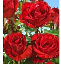 Edel-Rose 'Red Intuition®'
