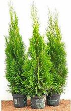 Edel Thuja Smaragd immergrüner Lebensbaum