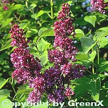 Edelflieder Charles Joly 30-40cm - Syringa vulgaris