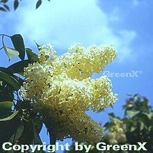 Edelflieder Primrose 60-80cm. der einzig gelbliche