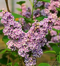 Edelflieder Sensation 125-150cm - Syringa vulgaris
