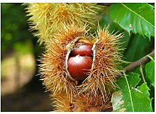 Edelkastanie Castanea sativa Pflanze 15-20cm