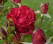 "Edelrose ""Red Intuition ®"" - (wurzelnackte Pflanze)"