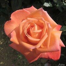 Edelrose 'NIRParfum Vedette®' (Rosa) - 1 wurzelnackte Pflanze