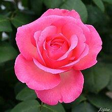 Edelrose Aachener Dom in Rosa - Rose winterhart & gefüllt - Blüte in Pink bis Apricot - Pflanze im 5 Liter Container von Garten Schlüter - Pflanzen in Top Qualitä