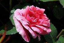 Edelrose, ADR-Rose Elbflorenz - Set aus 8 Rosen