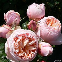 Edelrose Alexandrine in apricot-rosa - Duftrose