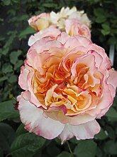 Edelrose Aquarell® - Rosa Aquarell -