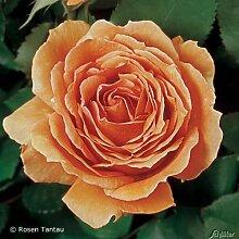 Edelrose Ashram Orange - Duftrose mittel-stark duftend - Rose in Kupfer-Ton - Pflanze im 5 Liter Container von Garten Schlüter - Pflanzen in Top Qualitä